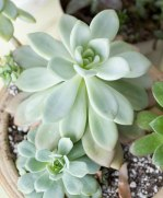 Pale-Succulents.jpg