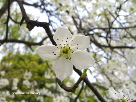 blossoming-pear-tree