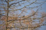 Red-winged blackbird in a dawn-lit tree