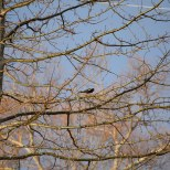 Red-winged blackbird in a dawn-lit tree