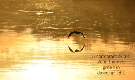 gilded cormorant (1)