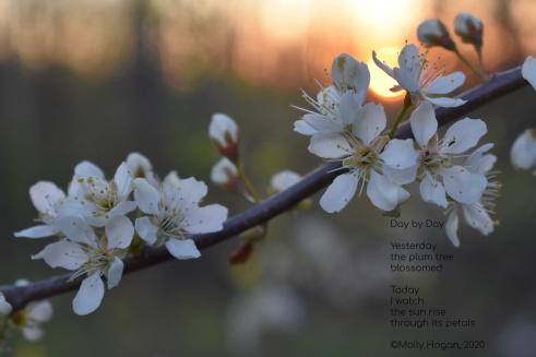 plumm blossoms (1)