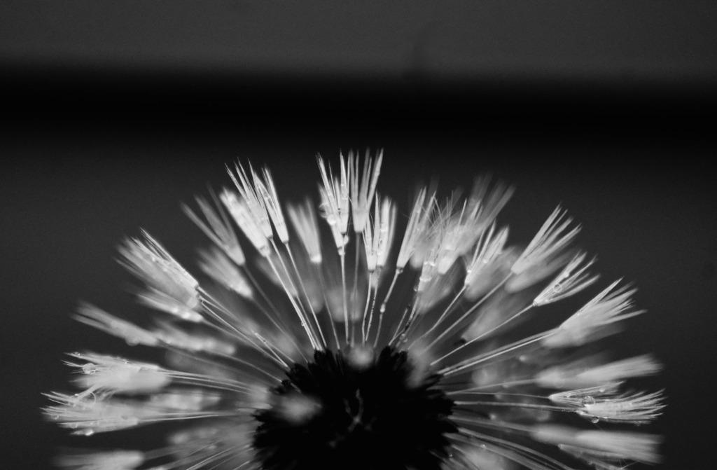 dandelion-by-molly-hogan